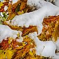 Red Autumn Maple Leaves With Fresh Fallen Snow by James BO  Insogna