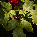 Red Baneberry   #8955 by J L Woody Wooden