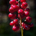 Red Baneberry   #8986 by J L Woody Wooden