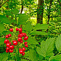 Red Baneberry Along Rivier Du Nord Trail In The Laurentians-qc by Ruth Hager