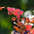 Red Barberry by Nick Kirby