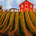 Red Barn In Autumn Vineyards by Garry Gay