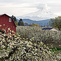 Red Barn In Hood River Pear Orchard by Jit Lim