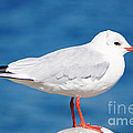 Red-beaked Seagull Resting On The Port by Beverly Claire Kaiya