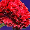 Red Beauty Carnation by Carol Lynch
