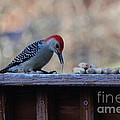 Red Bellied Woodpecker 2 by Connie Mueller