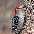 Red Bellied Woodpecker by Barbara McMahon