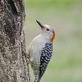 Red Bellied Woodpecker by Heather Applegate
