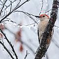 Red Bellied Woodpecker In Winter by Lara Ellis