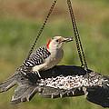 Red Bellied Woodpecker - Melanerpes Carolinus by Kathy Clark