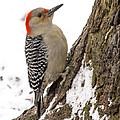 Red-bellied Woodpecker by Michael J Samuels