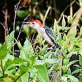 Red Bellied Woodpecker by Paul Wilford