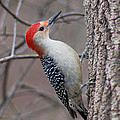 Red Bellied Woodpecker Pose by Barbara McMahon