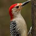 Red-bellied Woodpecker by Robert L Jackson
