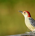Red Bellied Woodpecker by Sabrina L Ryan