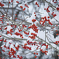 Red Berries by Alana Ranney