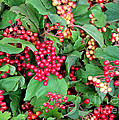 Red Berries And Green Leaves by Carol Groenen