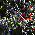 Red Berries And Violet Flowers by John Clark