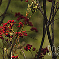 Red Berries by Belinda Greb