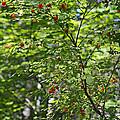 Red Berries by Shanna Hyatt