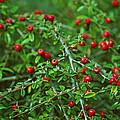 Red Berries by Tikvah's Hope