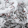 Red Berries White Snow by Nancy De Flon