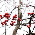 Red Berry Sprig by Lorraine Devon Wilke