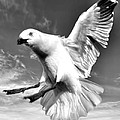 Red Billed Seagull In Black And White by Amanda Stadther