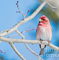 Red Bird Blue Sky Warm Sun by Cheryl Baxter