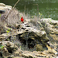 Red Bird by the Flint River Jumping to the next Perch