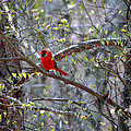 Red Bird In Dogwood by Kim Pate