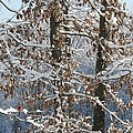 Red Bird On Snow Covered Limb by Cody Cookston