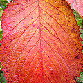 Red Blackberry Leaf by Duane McCullough