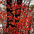 Red Blaze Burst by Jim Cotton