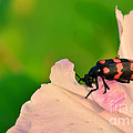 Red Blister Beetle by Image World
