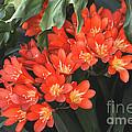 Red Blossoms At Lax by Deborah Smolinske