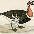 Red Breasted Goose by Beverley R. Morris
