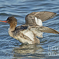Red-breasted Merganser by Anthony Mercieca