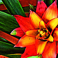 Red Bromeliad by Shannon Scott