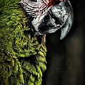 Red Browed Amazon Parrot by Justin Miller