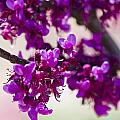 Red Bud Oklahoma by Vernis Maxwell