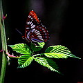 Red Butterfly by Brian Williamson