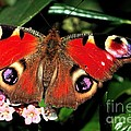 Red Butterfly In The Garden by Jeremy Hayden