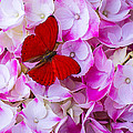 Red Butterfly On Hydrangea by Garry Gay