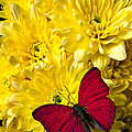 Red Butterfly On Poms by Garry Gay