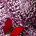 Red Butterfly On Red Mum by Garry Gay