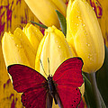 Red Butterfly Resting On Tulips by Garry Gay