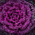 Red Cabbage by Cindy Tiefenbrunn