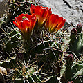 Red Cactus Flower  by Greg Reed