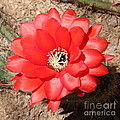 Red Cactus Flower Square by Carol Groenen